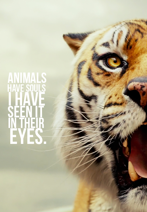 Tiger Quotes Mesmerizing Quote Of Life Of Pi QuoteSaga